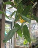 Vanilla planifolia in the educative greenhouse in the Botanical garden of Amsterdam